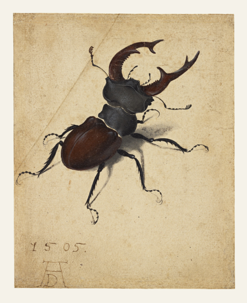 Stag Beetle; Albrecht Dürer (German, 1471 - 1528); 1505; Watercolor and gouache; upper left corner of paper added, with tip of left antenna painted in by a later hand; 14.1 × 11.4 cm (5 9/16 × 4 1/2 in.); 83.GC.214; Rights Statement: No Copyright - United States