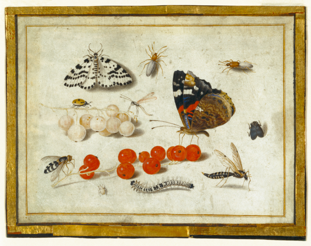 Butterfly, Caterpillar, Moth, Insects, and Currants; Jan van Kessel II (Flemish, 1626 - 1679); about 1650–1655; Gouache and brown ink, over underdrawing in metalpoint, on vellum; 13 × 17 cm (5 1/8 × 6 11/16 in.); 92.GC.50; The J. Paul Getty Museum, Los Angeles; Rights Statement: No Copyright - United States