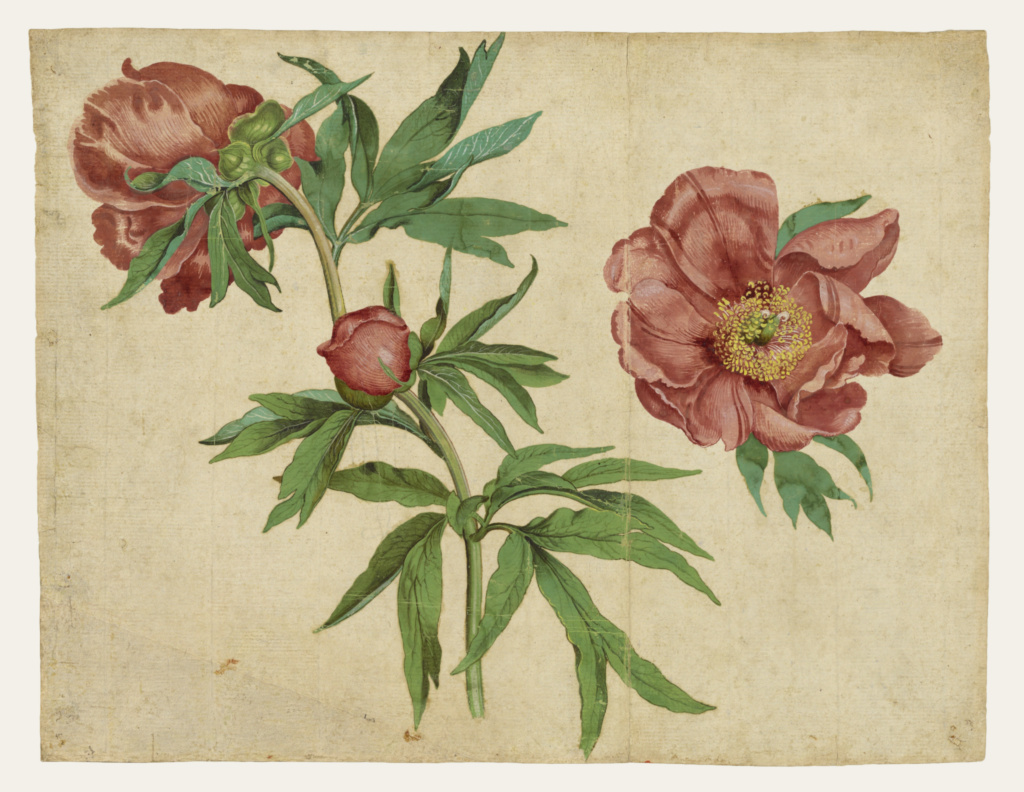 Studies of Peonies; Martin Schongauer (German, about 1450/1453 - 1491); Germany; about 1472–1473; Gouache and waterolor; 25.7 × 33 cm (10 1/8 × 13 in.); 92.GC.80; The J. Paul Getty Museum, Los Angeles; Rights Statement: No Copyright - United States