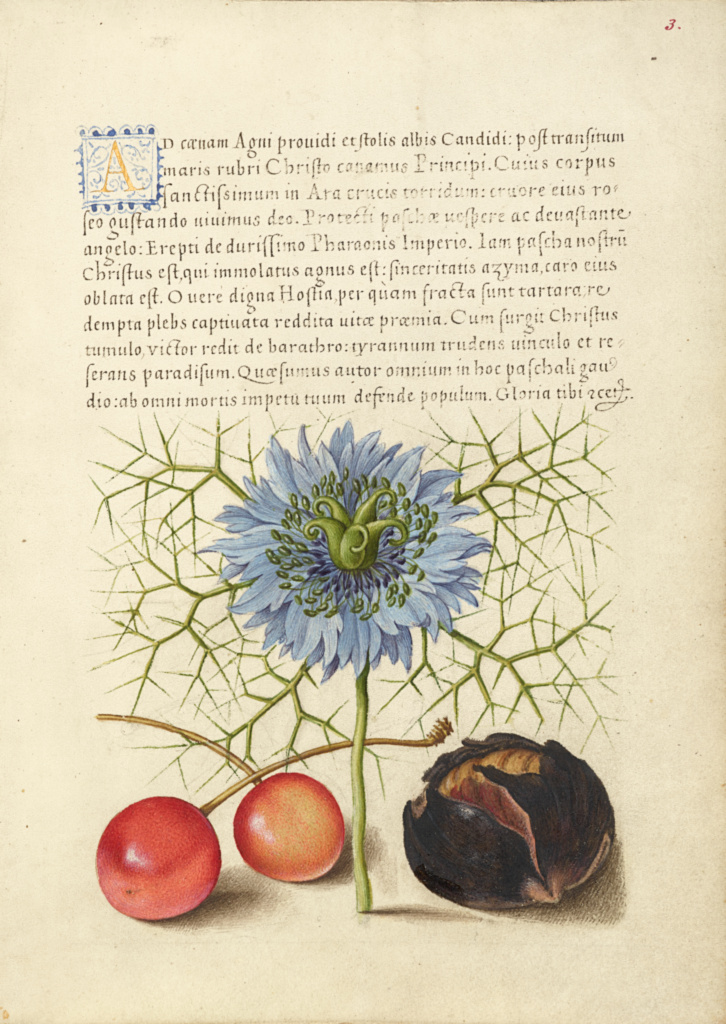 Love-in-a-Mist, Sweet Cherry, and Spanish Chestnut; Joris Hoefnagel (Flemish / Hungarian, 1542 - 1600), and Georg Bocskay (Hungarian, died 1575); Vienna, Austria; 1561–1562; illumination added 1591–1596; Watercolors, gold and silver paint, and ink on parchment; Leaf: 16.6 × 12.4 cm (6 9/16 × 4 7/8 in.); Ms. 20 (86.MV.527), fol. 3; The J. Paul Getty Museum, Los Angeles, Ms. 20, fol. 3; Rights Statement: No Copyright - United States