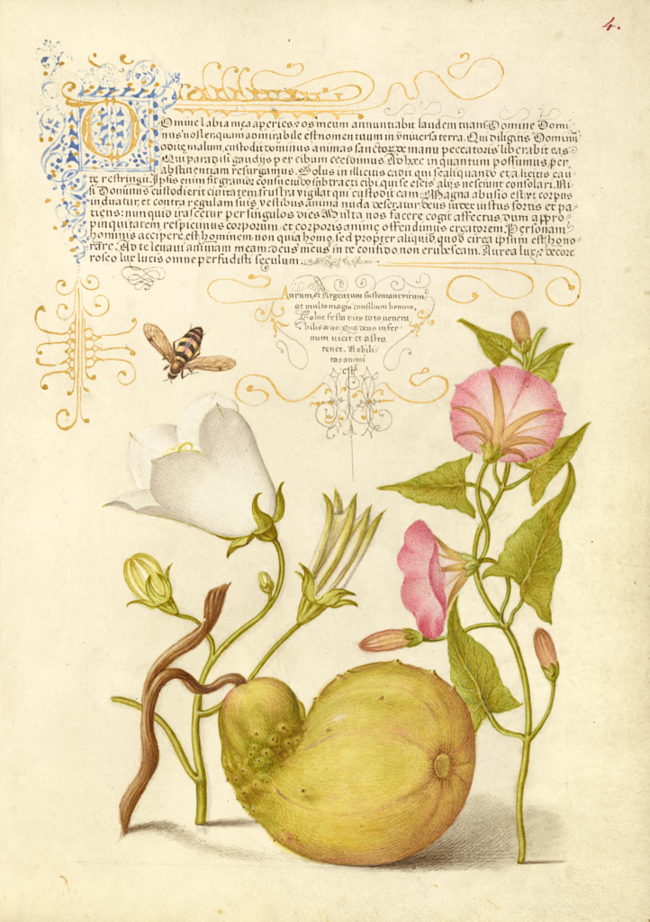 Fly or Blister Beetle, Willow Bellflower, Gourd, and Bindweed; Joris Hoefnagel (Flemish / Hungarian, 1542 - 1600), and Georg Bocskay (Hungarian, died 1575); 1561–1562; illumination added 1591–1596; Watercolors, gold and silver paint, and ink on parchment; Leaf: 16.6 × 12.4 cm (6 9/16 × 4 7/8 in.); Ms. 20 (86.MV.527), fol. 4; Rights Statement: No Copyright - United States