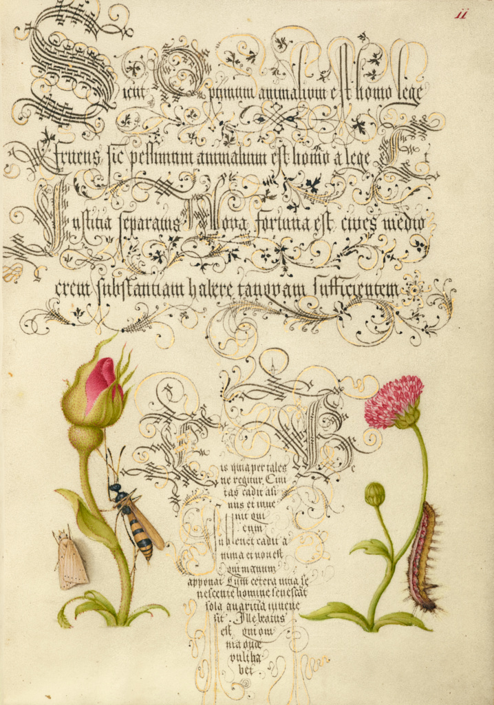 Wainscot, French Rose, Wasplike Insect, English Daisy, and Caterpillar; Joris Hoefnagel (Flemish / Hungarian, 1542 - 1600), and Georg Bocskay (Hungarian, died 1575); 1561–1562; illumination added 1591–1596; Watercolors, gold and silver paint, and ink on parchment; Leaf: 16.6 × 12.4 cm (6 9/16 × 4 7/8 in.); Ms. 20 (86.MV.527), fol. 11; Rights Statement: No Copyright - United States