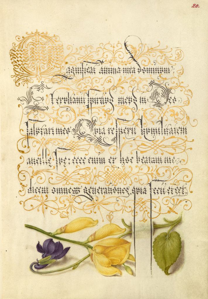 Sweet Violet and Spanish Broom; Joris Hoefnagel (Flemish / Hungarian, 1542 - 1600), and Georg Bocskay (Hungarian, died 1575); Vienna, Austria; 1561–1562; illumination added 1591–1596; Watercolors, gold and silver paint, and ink on parchment; Leaf: 16.6 × 12.4 cm (6 9/16 × 4 7/8 in.); Ms. 20 (86.MV.527), fol. 20; The J. Paul Getty Museum, Los Angeles, Ms. 20, fol. 20; Rights Statement: No Copyright - United States