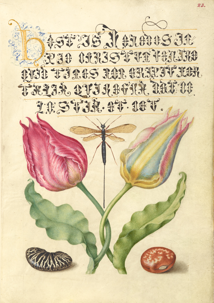 Gesner'sTulip, Ichneumon Fly, Kidney Bean, and Scarlet Runner Bean; Joris Hoefnagel (Flemish / Hungarian, 1542 - 1600), and Georg Bocskay (Hungarian, died 1575); Vienna, Austria; 1561–1562; illumination added 1591–1596; Watercolors, gold and silver paint, and ink on parchment; Leaf: 16.6 × 12.4 cm (6 9/16 × 4 7/8 in.); Ms. 20 (86.MV.527), fol. 23; The J. Paul Getty Museum, Los Angeles, Ms. 20, fol. 23; Rights Statement: No Copyright - United States