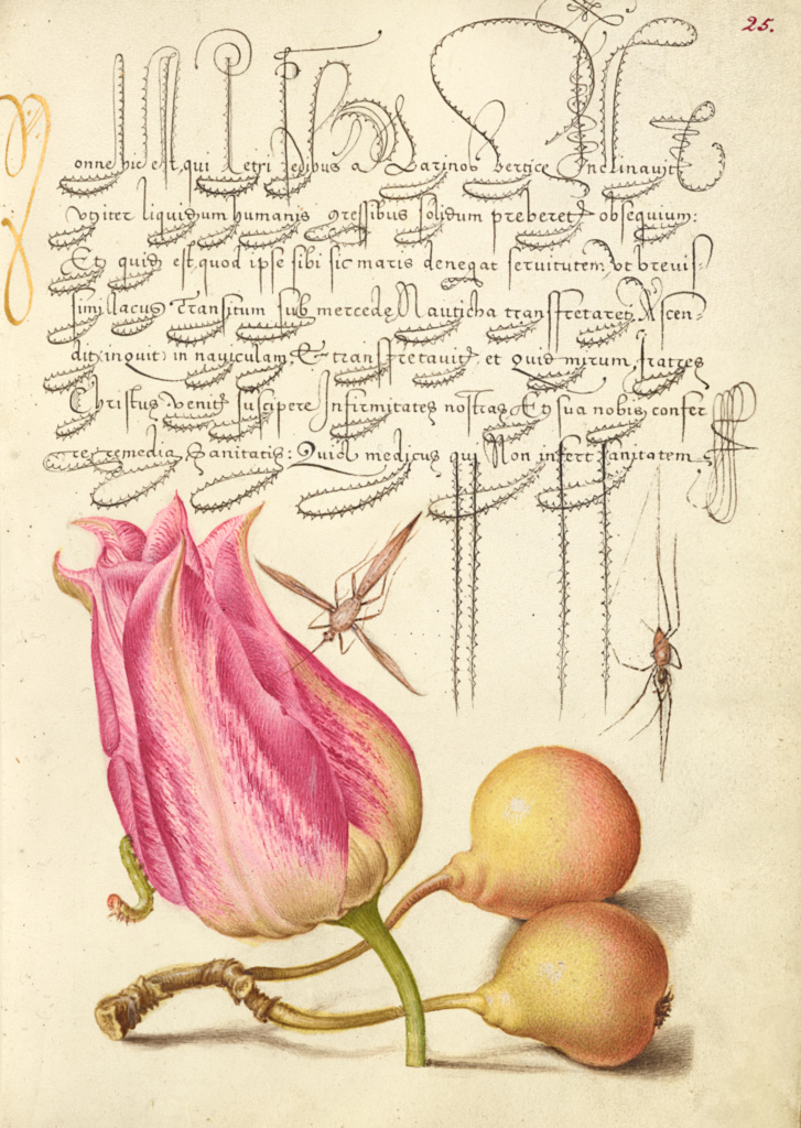 Imaginary Insect, Tulip, Spider, and Common Pear; Joris Hoefnagel (Flemish / Hungarian, 1542 - 1600), and Georg Bocskay (Hungarian, died 1575); Vienna, Austria; 1561–1562; illumination added 1591–1596; Watercolors, gold and silver paint, and ink on parchment; Leaf: 16.6 × 12.4 cm (6 9/16 × 4 7/8 in.); Ms. 20 (86.MV.527), fol. 25; The J. Paul Getty Museum, Los Angeles, Ms. 20, fol. 25; Rights Statement: No Copyright - United States