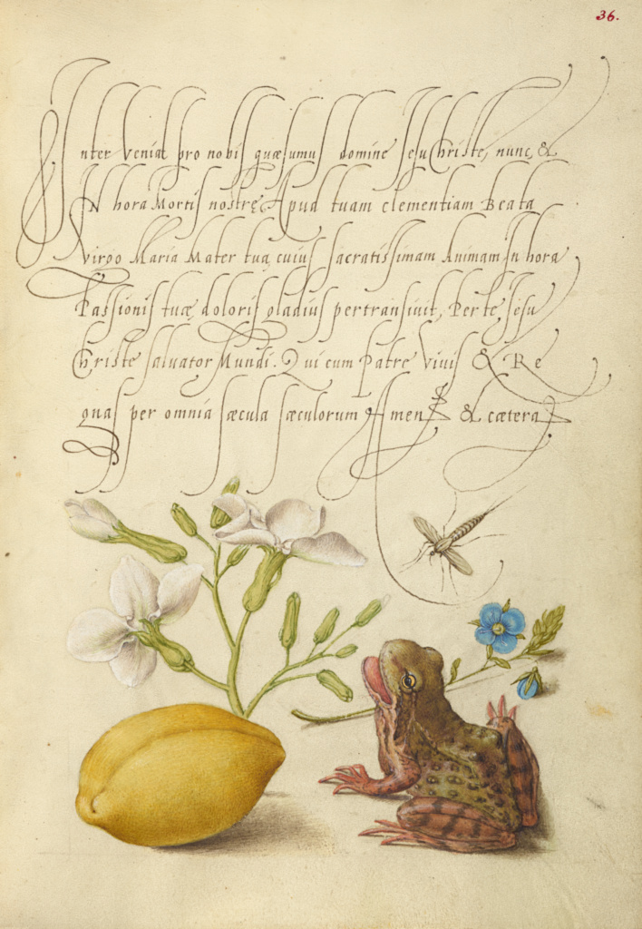 Gillyflower, Insect, Germander, Almond, and Frog; Joris Hoefnagel (Flemish / Hungarian, 1542 - 1600), and Georg Bocskay (Hungarian, died 1575); 1561–1562; illumination added 1591–1596; Watercolors, gold and silver paint, and ink on parchment; Leaf: 16.6 × 12.4 cm (6 9/16 × 4 7/8 in.); Ms. 20 (86.MV.527), fol. 36; Rights Statement: No Copyright - United States