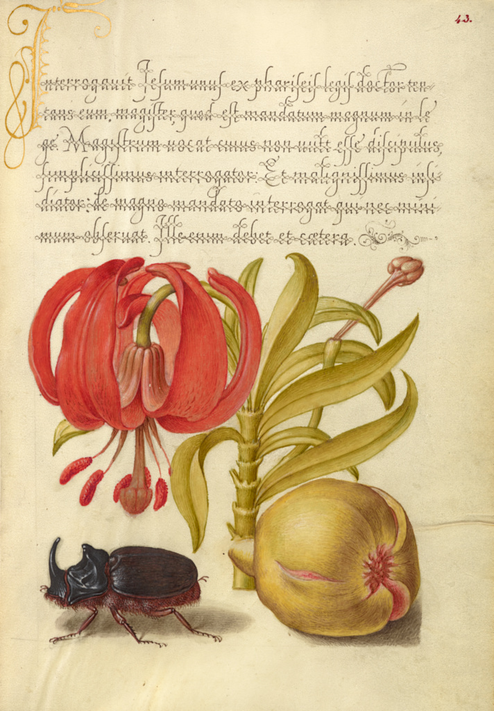 Scarlet Turk's Cap, Rhinoceros Beetle, and Pomegranate; Joris Hoefnagel (Flemish / Hungarian, 1542 - 1600), and Georg Bocskay (Hungarian, died 1575); Vienna, Austria; 1561–1562; illumination added 1591–1596; Watercolors, gold and silver paint, and ink; Leaf: 16.6 × 12.4 cm (6 9/16 × 4 7/8 in.); Ms. 20 (86.MV.527), fol. 43; The J. Paul Getty Museum, Los Angeles, Ms. 20, fol. 43; Rights Statement: No Copyright - United States