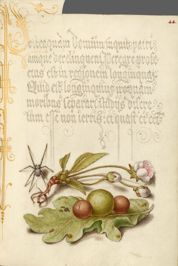 Spider, Sweet Cherry Flower, and English Oak Leaf with Galls; Joris Hoefnagel (Flemish / Hungarian, 1542 - 1600), and Georg Bocskay (Hungarian, died 1575); 1561–1562; illumination added 1591–1596; Watercolors, gold and silver paint, and ink on parchment; Leaf: 16.6 × 12.4 cm (6 9/16 × 4 7/8 in.); Ms. 20 (86.MV.527), fol. 46; Rights Statement: No Copyright - United States