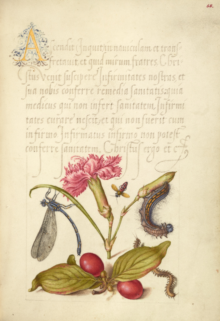 Damselfly, Carnation, Firebug, Caterpillar, Carnelian Cherry, and Centipede; Joris Hoefnagel (Flemish / Hungarian, 1542 - 1600), and Georg Bocskay (Hungarian, died 1575); 1561–1562; illumination added 1591–1596; Watercolors, gold and silver paint, and ink on parchment; Leaf: 16.6 × 12.4 cm (6 9/16 × 4 7/8 in.); Ms. 20 (86.MV.527), fol. 68; Rights Statement: No Copyright - United States