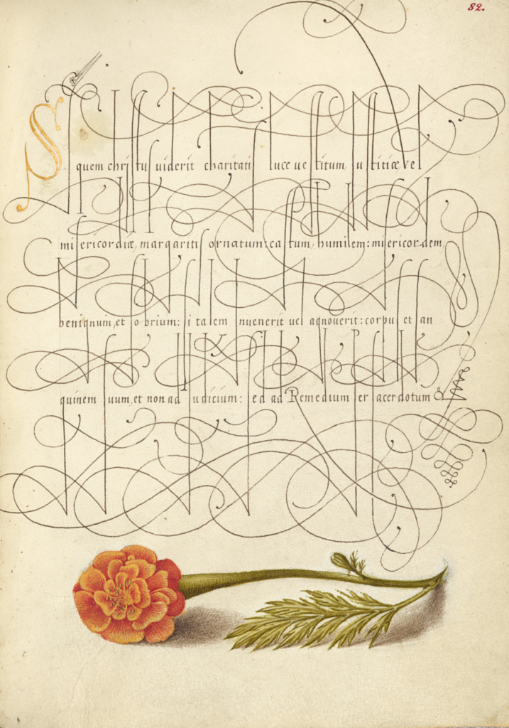 French Marigold; Joris Hoefnagel (Flemish / Hungarian, 1542 - 1600), and Georg Bocskay (Hungarian, died 1575); 1561–1562; illumination added 1591–1596; Watercolors, gold and silver paint, and ink on parchment; Leaf: 16.6 × 12.4 cm (6 9/16 × 4 7/8 in.); Ms. 20 (86.MV.527), fol. 82; Rights Statement: No Copyright - United States