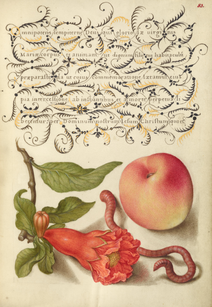 Pomegranate, Worm, and Peach; Joris Hoefnagel (Flemish / Hungarian, 1542 - 1600), and Georg Bocskay (Hungarian, died 1575); 1561–1562; illumination added 1591–1596; Watercolors, gold and silver paint, and ink on parchment; Leaf: 16.6 × 12.4 cm (6 9/16 × 4 7/8 in.); Ms. 20 (86.MV.527), fol. 83; Rights Statement: No Copyright - United States
