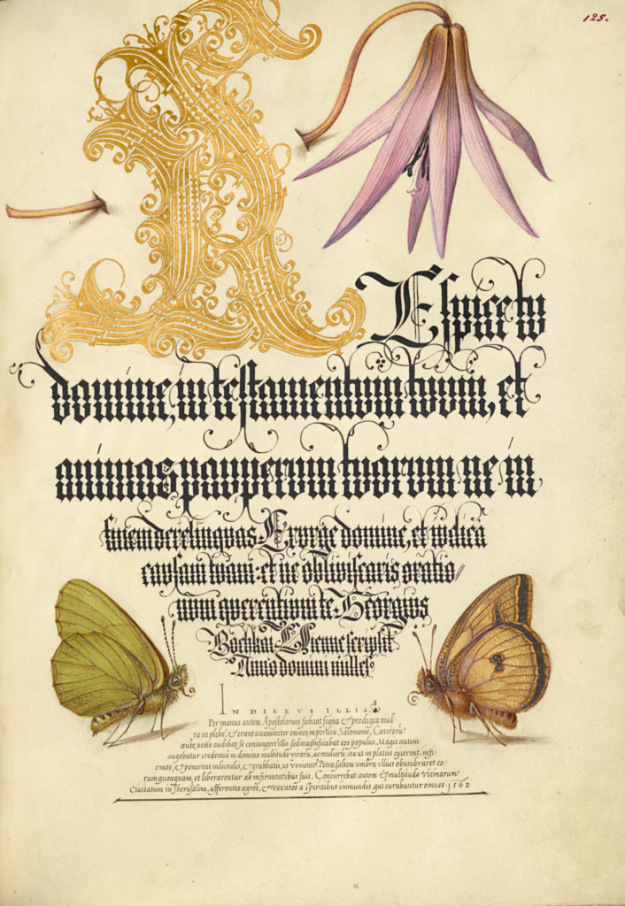 Dog-Tooth Violet and Butterflies; Joris Hoefnagel (Flemish / Hungarian, 1542 - 1600), and Georg Bocskay (Hungarian, died 1575); Vienna, Austria; 1561–1562; illumination added 1591–1596; Watercolors, gold and silver paint, and ink on parchment; Leaf: 16.6 × 12.4 cm (6 9/16 × 4 7/8 in.); Ms. 20 (86.MV.527), fol. 125; The J. Paul Getty Museum, Los Angeles, Ms. 20, fol. 125; Rights Statement: No Copyright - United States