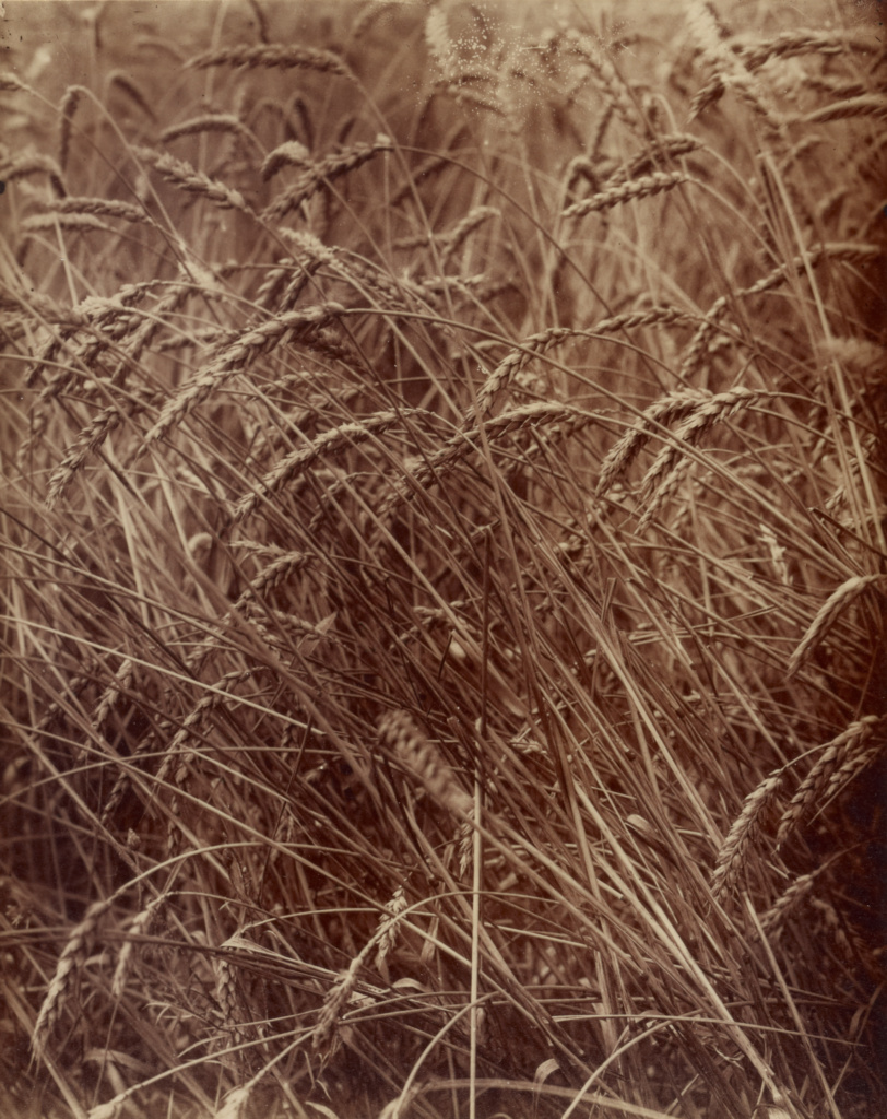[Wheat]; Eugène Atget (French, 1857 - 1927); France; 1900; Toned albumen silver print; 21.3 × 17 cm (8 3/8 × 6 11/16 in.); 84.XM.794; The J. Paul Getty Museum, Los Angeles; Rights Statement: No Copyright - United States