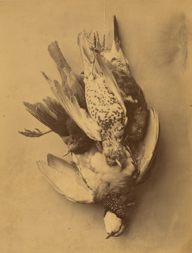 [Still life of Birds]; Eugene Maurice (French, active 1870s); Blois, France; late 19th century; Albumen silver print; 35.3 × 27.1 cm (13 7/8 × 10 11/16 in.); 84.XM.1393; The J. Paul Getty Museum, Los Angeles; Rights Statement: No Copyright - United States