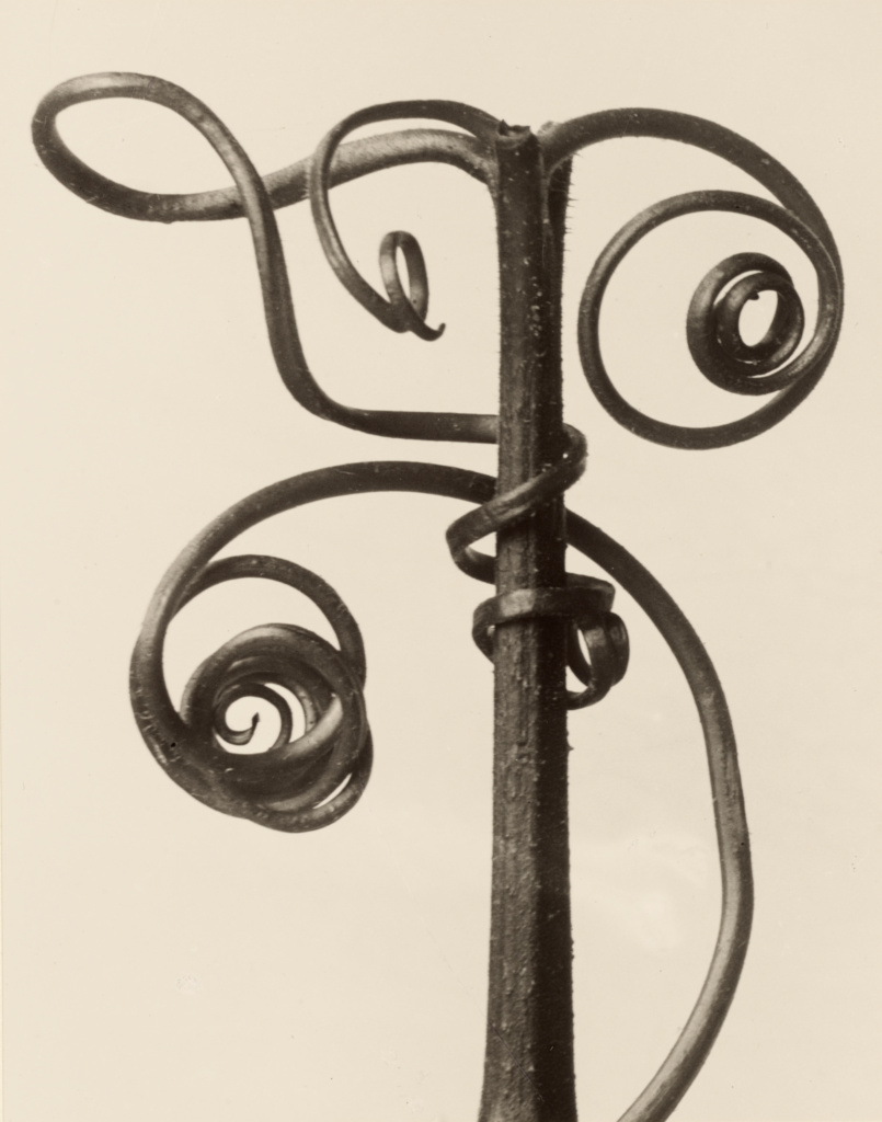 Cucurbita; Karl Blossfeldt (German, 1865 - 1932); Berlin, Germany; 1928; Gelatin silver print; 25.9 × 20.3 cm (10 3/16 × 8 in.); 84.XM.142.10; The J. Paul Getty Museum, Los Angeles; Rights Statement: No Copyright - United States