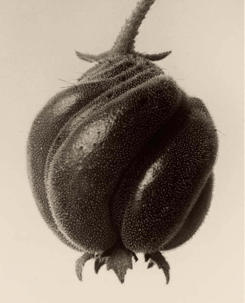 Blumenbachia hieronymi (Loasaceae); Karl Blossfeldt (German, 1865 - 1932); Berlin, Germany; 1932; Gelatin silver print; 25.9 × 20.8 cm (10 3/16 × 8 3/16 in.); 84.XM.142.12; The J. Paul Getty Museum, Los Angeles; Rights Statement: No Copyright - United States
