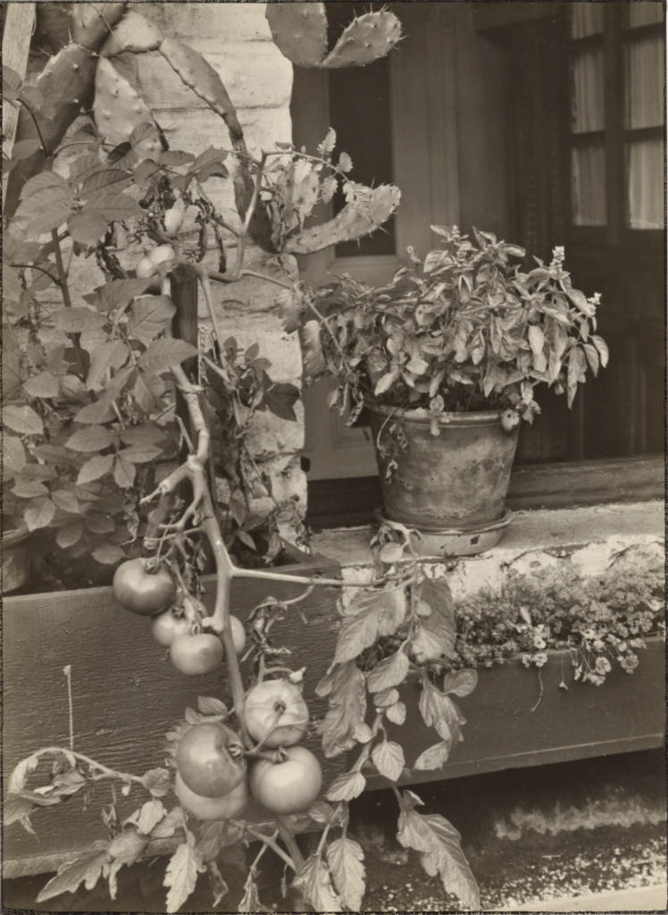 Sander's studio/home, Cologne: Roof garden (tomato bush) (Sander's Studio/Wohnung, Köln: Dachgarten (Tomatenstrauch)); August Sander (German, 1876 - 1964); about 1930–1942; Gelatin silver print; 22.4 × 16.4 cm (8 13/16 × 6 7/16 in.); 84.XM.152.207; Rights Statement: In Copyright; Copyright: © J. Paul Getty Trust