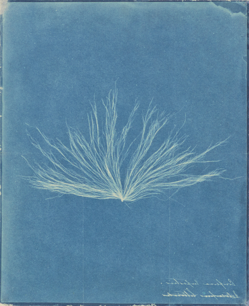 Confervae; Attributed to Anna Atkins (British, 1799 - 1871), and / or attributed to Herschel Family, Anne Dixon (British, 1799 - 1877); 1843–1845; Cyanotype; 24.3 × 19.8 cm (9 9/16 × 7 3/4 in.); 84.XZ.369; The J. Paul Getty Museum, Los Angeles; Rights Statement: No Copyright - United States