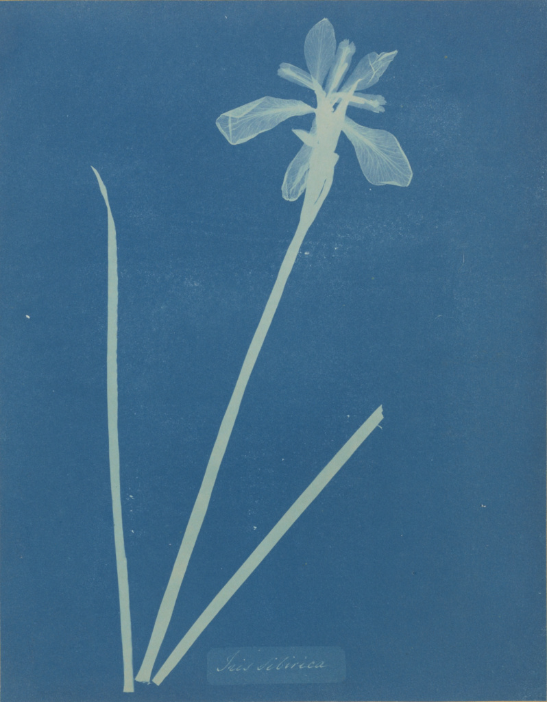 Iris Sibirica; Anna Atkins (British, 1799 - 1871), and Anne Dixon (British, 1799 - 1877); 1854; Cyanotype; 25.4 × 19.8 cm (10 × 7 13/16 in.); 84.XP.467.5; Rights Statement: No Copyright - United States