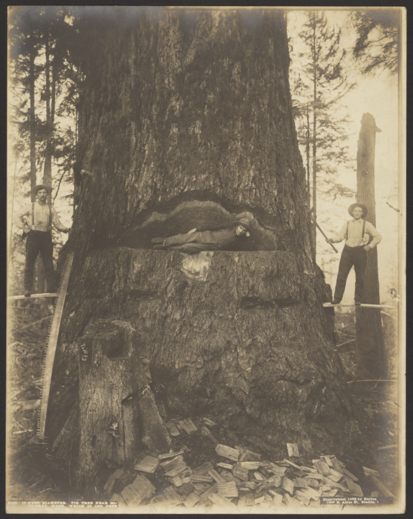 17 Feet Diameter Fir Tree near McMurray, Wash.; Darius Kinsey (American, 1869 - 1945); McMurray, Washington, United States; 1908; Gelatin silver print; 34.8 × 27.3 cm (13 11/16 × 10 3/4 in.); 84.XM.490.2; The J. Paul Getty Museum, Los Angeles; Rights Statement: No Copyright - United States