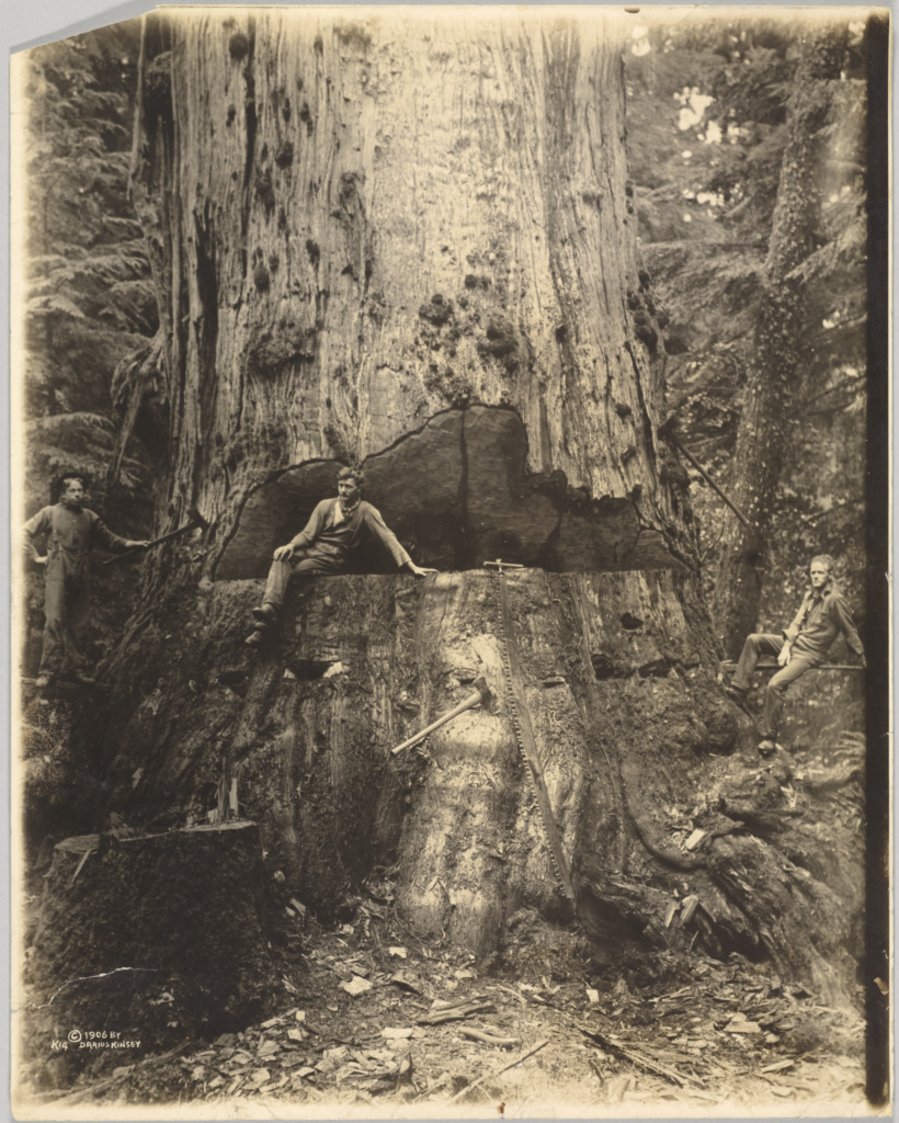 Felling Cedar Tree Thirty Miles East of Seattle, 76 feet in Circumference, 18 in From Ground; Darius Kinsey (American, 1869 - 1945); Washington, United States; 1906; Gelatin silver print; 34.6 × 27 cm (13 5/8 × 10 5/8 in.); 84.XM.490.18; The J. Paul Getty Museum, Los Angeles; Rights Statement: No Copyright - United States