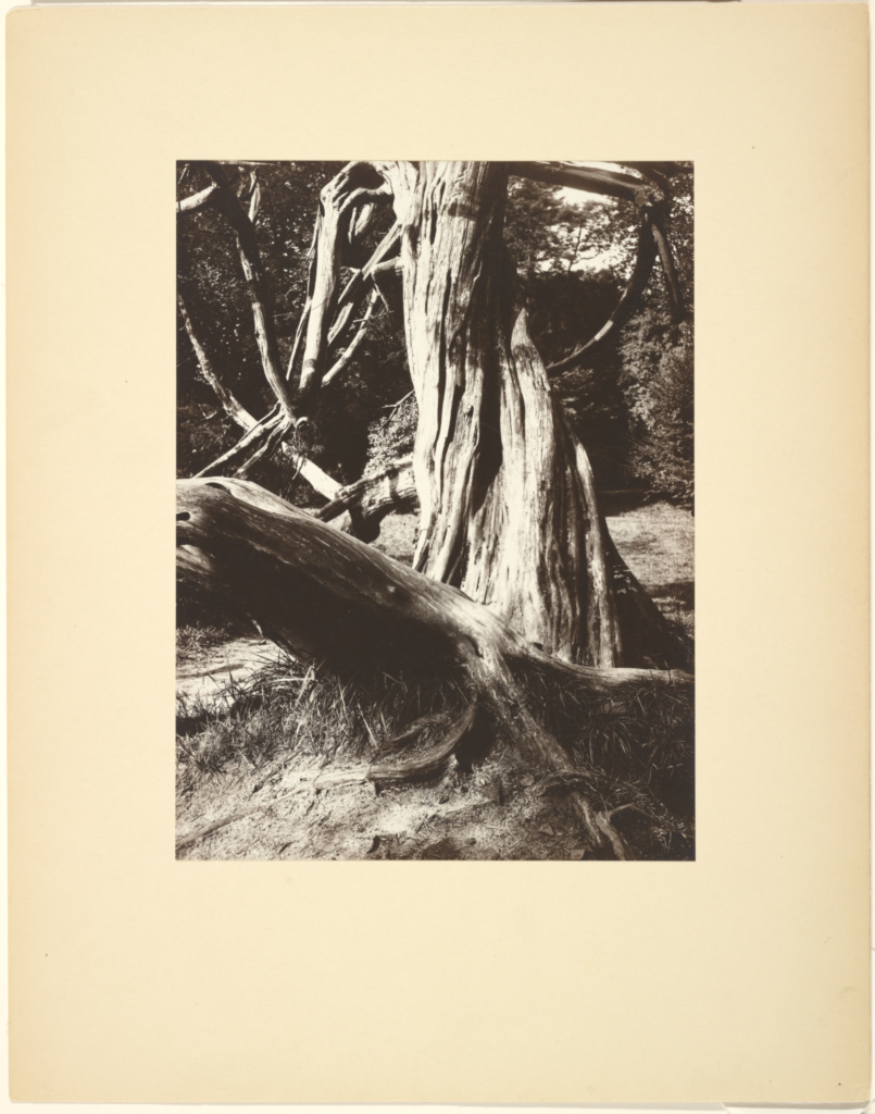 [Sapin, Trianon (Pine Tree Trunks at the Trianon)]; Eugène Atget (French, 1857 - 1927); 1910 - 1915; Albumen silver print; 23.2 × 17.2 cm (9 1/8 × 6 3/4 in.); 84.XM.1034.16; Rights Statement: No Copyright - United States