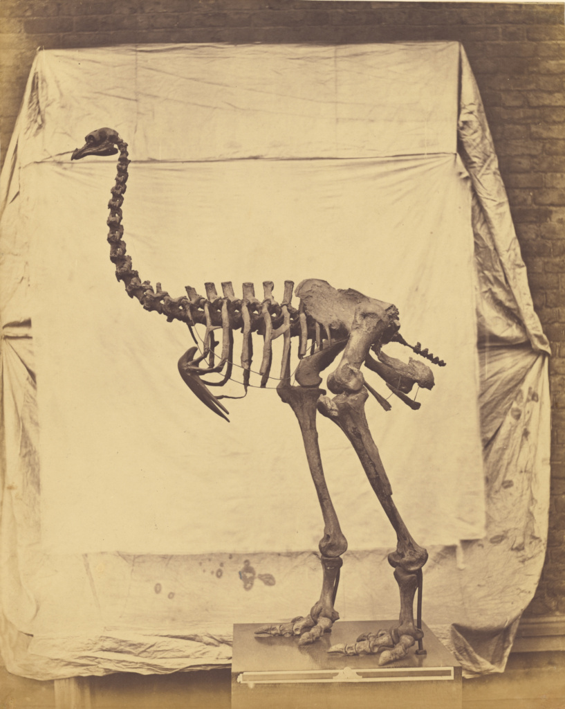 [Dinornis Elephantopus]; Roger Fenton (English, 1819 - 1869); 1854–1858; Salted paper print; 38.1 × 30.3 cm (15 × 11 15/16 in.); 84.XP.452.3; The J. Paul Getty Museum, Los Angeles; Rights Statement: No Copyright - United States