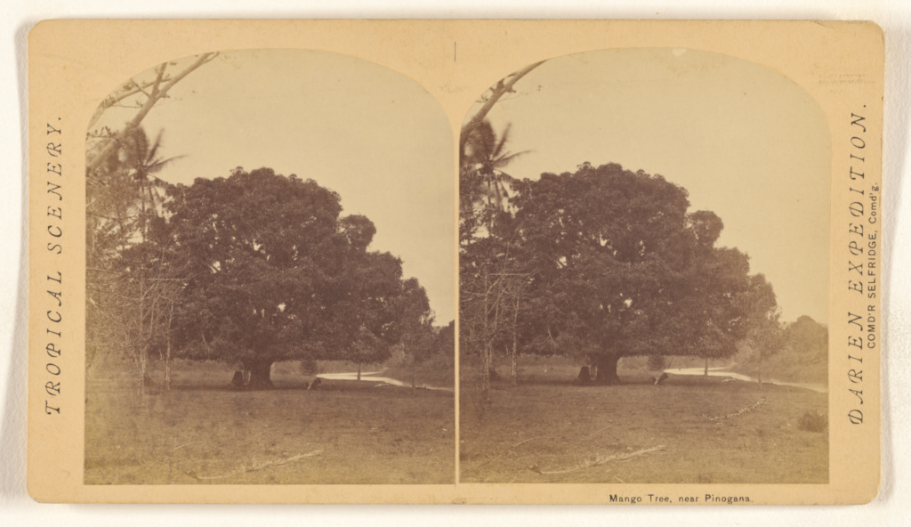 Mango Tree, near Pinogana.; Timothy H. O'Sullivan (American, about 1840 - 1882); 1870; Albumen silver print; 84.XC.873.8880; Rights Statement: No Copyright - United States