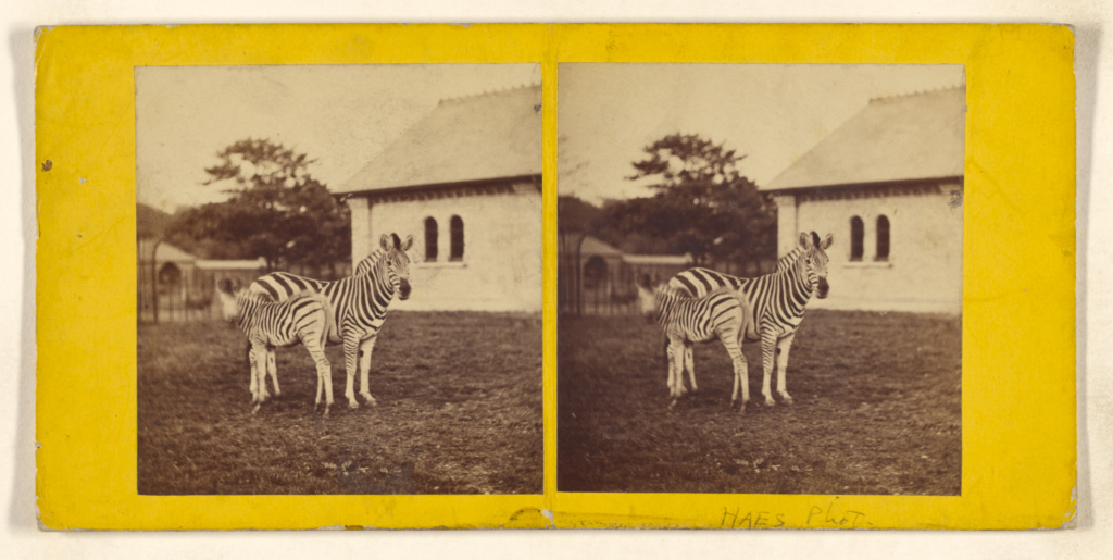 Burchell's Zebra and Foal. (Asinus Burchellii.) Foal born in Gardens 1865. Hab: Africa.; Frank Haes (English, 1833 - 1916); about 1865; Albumen silver print; 84.XC.979.4196; The J. Paul Getty Museum, Los Angeles, Gift of Weston J. and Mary M. Naef; Rights Statement: No Copyright - United States