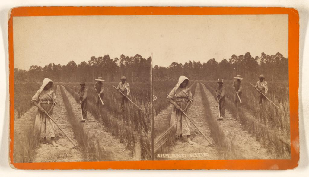 Upland Rice [Savannah, Georgia]; O. Pierre Havens (American, 1838 - 1912, active Savannah, Georgia); 1880s; Albumen silver print; 84.XC.873.7399; Rights Statement: No Copyright - United States