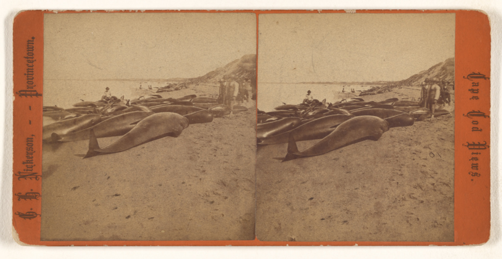 Blackfish.; G.H. Nickerson (American, active 1860s - 1880s); about 1875; Albumen silver print; 84.XC.873.9355; Rights Statement: No Copyright - United States