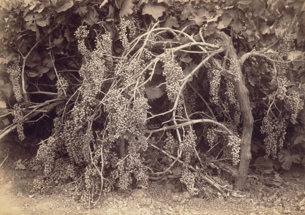 [Thompson's Seedless Grapes]; Carleton Watkins (American, 1829 - 1916); Kern, California, United States; 1880; Albumen silver print; 37.6 × 55.7 cm (14 13/16 × 21 15/16 in.); 98.XM.21.1; The J. Paul Getty Museum, Los Angeles; Rights Statement: No Copyright - United States