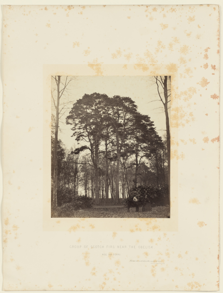 Group of Scotch Firs near the Obelisk; James Sinclair, 14th earl of Caithness (British, 1821 - 1881), William Bambridge (British, 1819 - 1879); London, England; 1864; Albumen silver print; 27.8 × 23.4 cm (10 15/16 × 9 3/16 in.); 84.XO.734.3.10; The J. Paul Getty Museum, Los Angeles; Rights Statement: No Copyright - United States