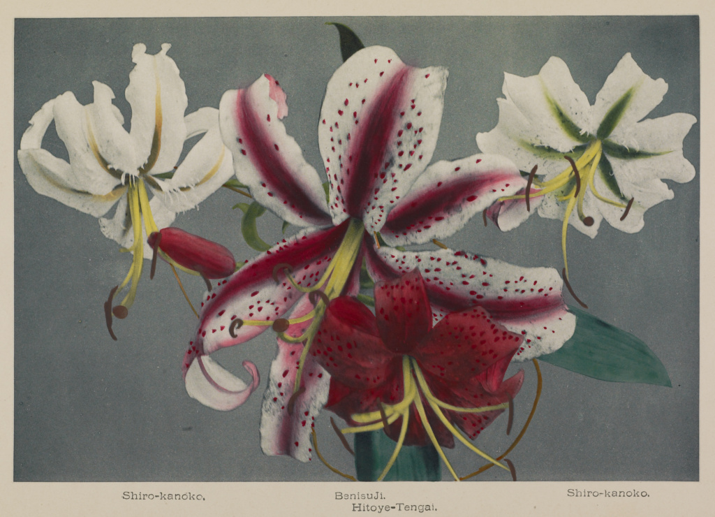 Lily; Kazumasa Ogawa (Japanese, 1860 - 1929); Yokohama, Japan; 1896; Hand-colored collotype; 18.7 × 27.5 cm (7 3/8 × 10 13/16 in.); 84.XB.759.6.19; The J. Paul Getty Museum, Los Angeles; Rights Statement: No Copyright - United States