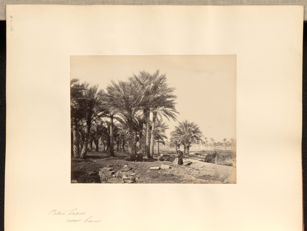 Palm Grove, near Cairo; Francis Frith (English, 1822 - 1898); Cairo, Cairo Governorate, Egypt; 1857; Albumen silver print; 15.9 × 20.8 cm (6 1/4 × 8 3/16 in.); 84.XO.1180.156; The J. Paul Getty Museum, Los Angeles; Rights Statement: No Copyright - United States