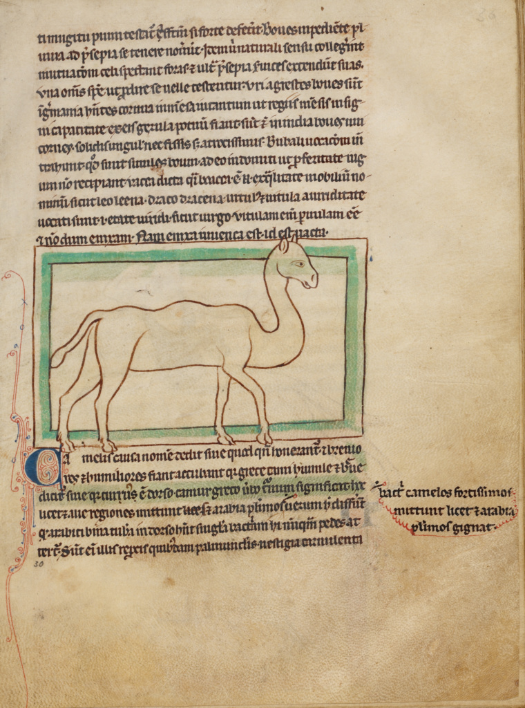 A Camel; Unknown; England; about 1250 - 1260; Pen-and-ink drawings tinted with body color and translucent washes on parchment; Leaf: 21 × 15.7 cm (8 1/4 × 6 3/16 in.); Ms. 100 (2007.16), fol. 30; The J. Paul Getty Museum, Los Angeles, Ms. 100, fol. 30; Rights Statement: No Copyright - United States