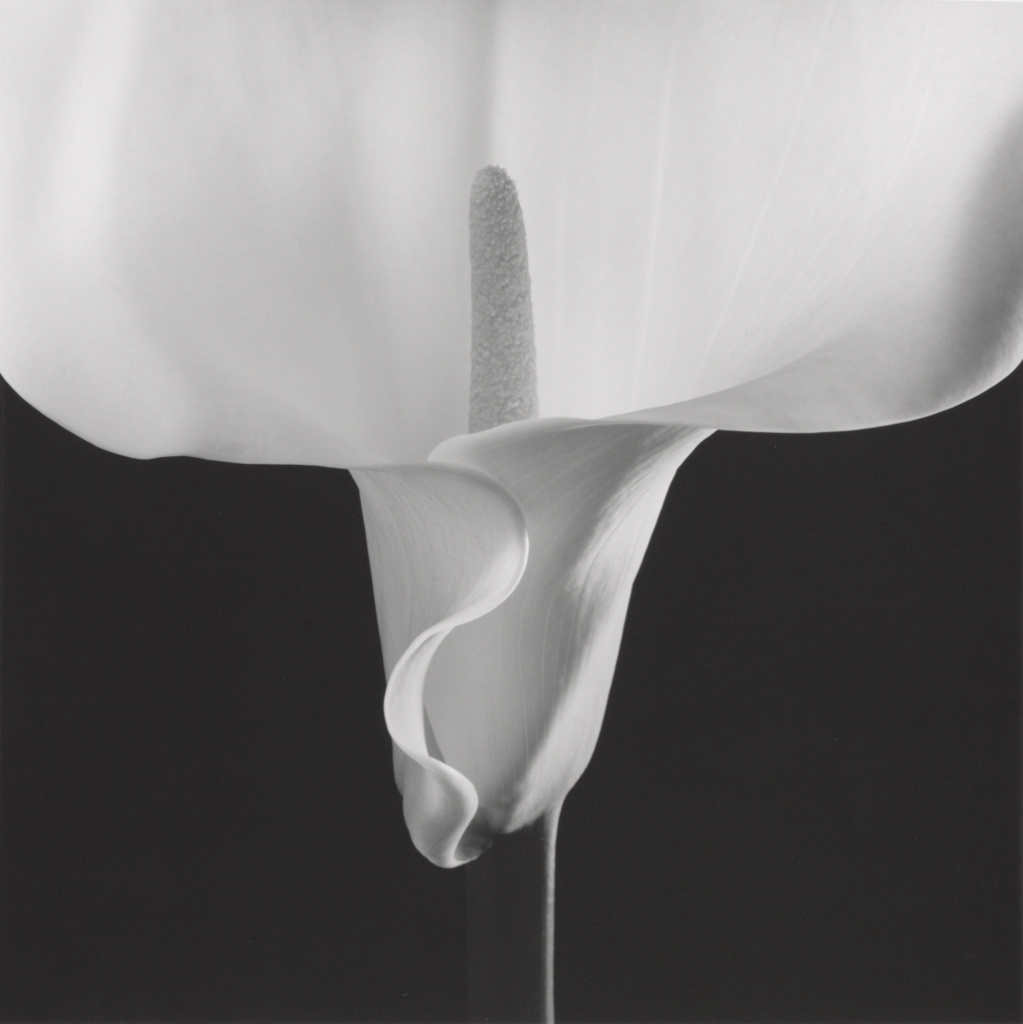 Calla Lily; Robert Mapplethorpe (American, 1946 - 1989); New York, New York, United States; negative 1988; print 1990; Gelatin silver print; 49 × 49 cm (19 5/16 × 19 5/16 in.); 2011.9.26; Jointly acquired by the J. Paul Getty Trust and the Los Angeles County Museum of Art; partial gift of The Robert Mapplethorpe Foundation; partial purchase with funds provided by the J. Paul Getty Trust and the David Geffen Foundation; Rights Statement: In Copyright; Copyright: © Robert Mapplethorpe Foundation