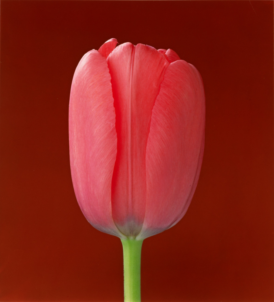Tulip; Robert Mapplethorpe (American, 1946 - 1989); New York, New York, United States; 1988; Dye imbibition print; 52.4 × 47.7 cm (20 5/8 × 18 3/4 in.); 2011.9.38; Jointly acquired by the J. Paul Getty Trust and the Los Angeles County Museum of Art; partial gift of The Robert Mapplethorpe Foundation; partial purchase with funds provided by the J. Paul Getty Trust and the David Geffen Foundation; Rights Statement: In Copyright; Copyright: © Robert Mapplethorpe Foundation