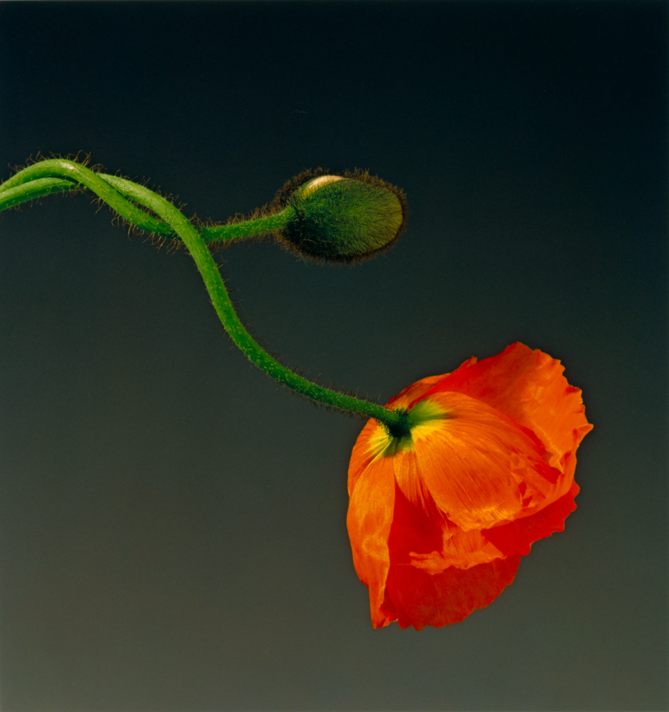 Poppy; Robert Mapplethorpe (American, 1946 - 1989); New York, New York, United States; 1988; Dye imbibition print; 50.3 × 47.5 cm (19 13/16 × 18 11/16 in.); 2011.9.39; Jointly acquired by the J. Paul Getty Trust and the Los Angeles County Museum of Art; partial gift of The Robert Mapplethorpe Foundation; partial purchase with funds provided by the J. Paul Getty Trust and the David Geffen Foundation; Rights Statement: In Copyright; Copyright: © Robert Mapplethorpe Foundation