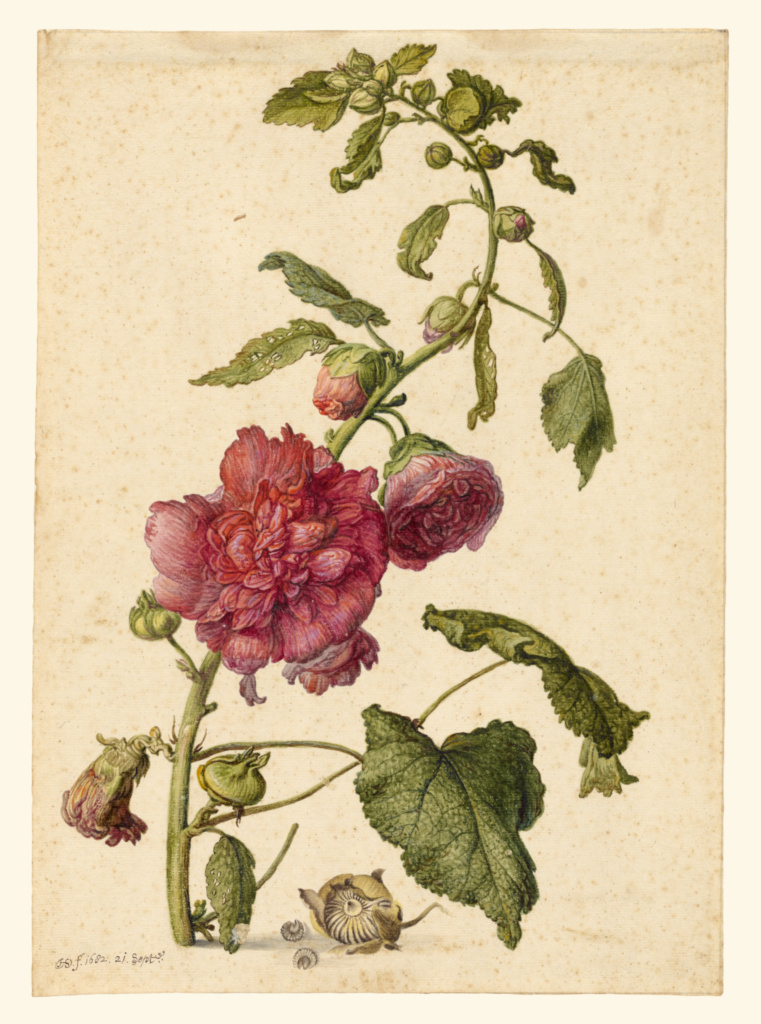 A Hollyhock; Herman Saftleven the Younger (Dutch, 1609 - 1685); Holland; September 21, 1682; Watercolor, gouache and black chalk framing lines on three sides; 35.2 × 25.2 cm (13 7/8 × 9 15/16 in.); 2014.42; The J. Paul Getty Museum, Los Angeles; Rights Statement: No Copyright - United States